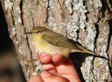 Medio-Ambiente-contabiliza-máis-1400-exemplares-37-especies-diferentes-estación-Ons-programa-anelamento-aves-migratorias