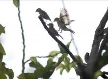 SÉ/BirdLife-aposta-minimizar-hostilidade-urbana-coas-aves-gorrión