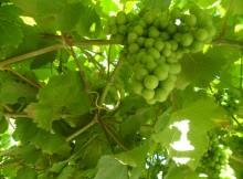 Soutomaior-únese-Ruta-Viño-Rias-Baixas-potenciar-gastronomía-turismo
