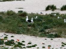 Medio-Ambiente-confirma-reprodución-pato-frisado-gabita-gaivotón-tres-especies-comúns-crían-arquipélago-Sálvora