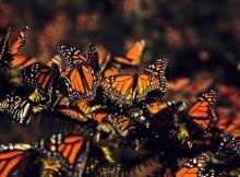 a-bolboreta-monarca-un-espectaculo-da-natureza-en-mexico