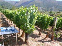 a-tese-de-yolanda-bouzas-demostra-que-o-tipo-de-rega-e-de-cobertura-vexetal-do-solo-non-afectan-a-composicion-de-uvas-e-vinos