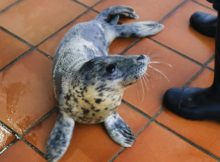guardesina-unha-femia-lobo-marino-apareceu-varada-na-guarda-recuperase-no-cemma-nigran