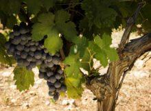 Un total de 54 adegas galegas recibirán axudas por 3,1 millóns de euros do programa de apoio ao sector vitivinícola español
