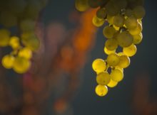 O sector vitivinícola acada a segunda colleita máis abundante da historia con 64 millóns de quilos de uva