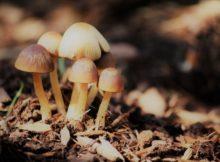 Roteiro micolóxico polo futuro Parque Forestal 'Os Matos-Río Táboas' de Nigrán