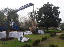 En Tui, dous camelios e un cactus existentes nas propiedades afectadas pola apertura da rúa Ourense foron plantados nos xardíns de Troncoso