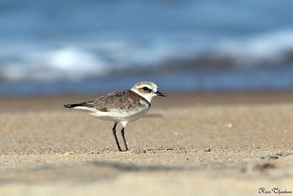 Aves protegidas nos areais das praias de Caminha