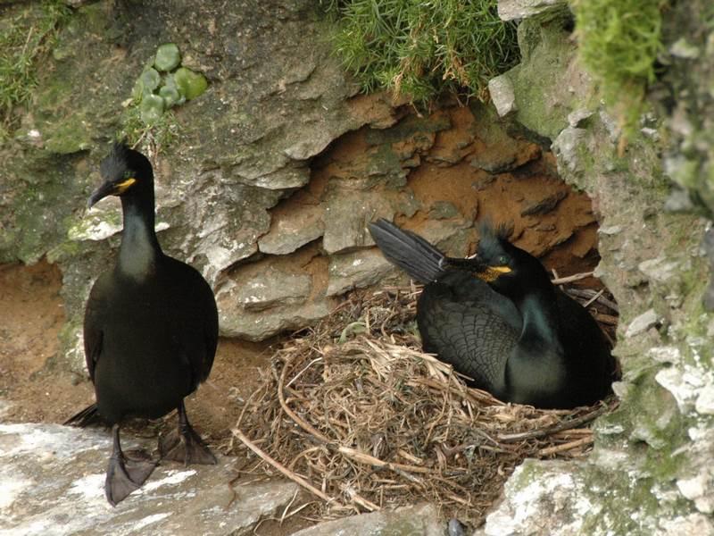 O Parque Nacional das Illas Atlánticas incorpora dous novos exemplares ao seu proxecto de seguimento remoto do corvo mariño