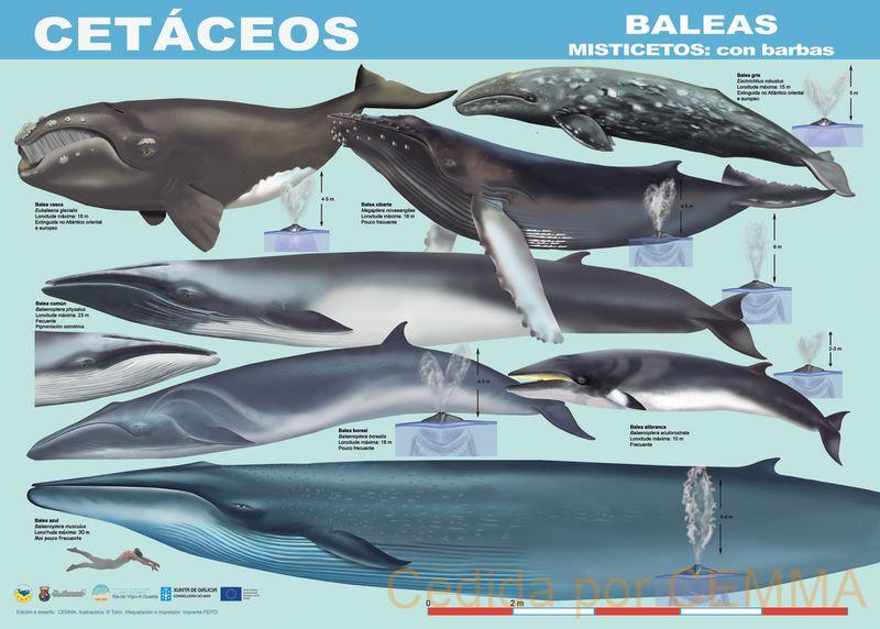 CEMMA: 25 anos na custodia da vida mariña nos mares galegos