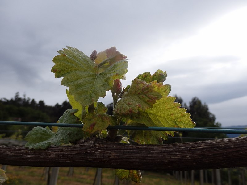 Areeiro recomenda revisar as viñas máis desenvolvidas na procura das primeiras manchas do mildiu