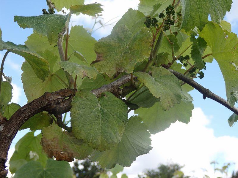 Areeiro aconsella renovar a protección das viñas con funxicidas ante o desenvolvemento do mildio