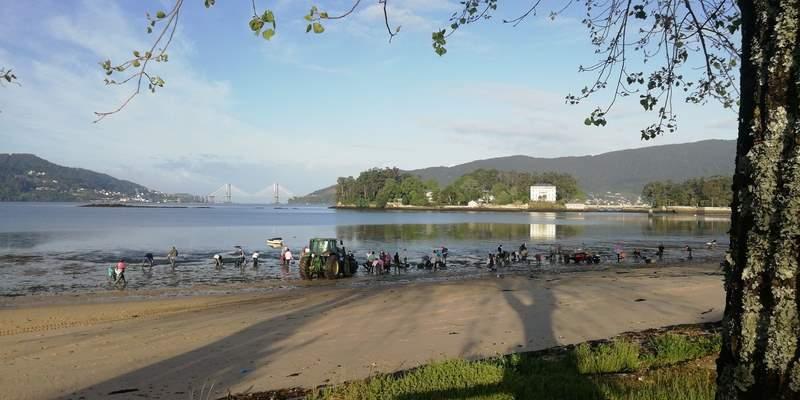 O Concello de Redondela colabora coas mariscadoras na retirada de algas nos bancos marisqueiros de Cesantes