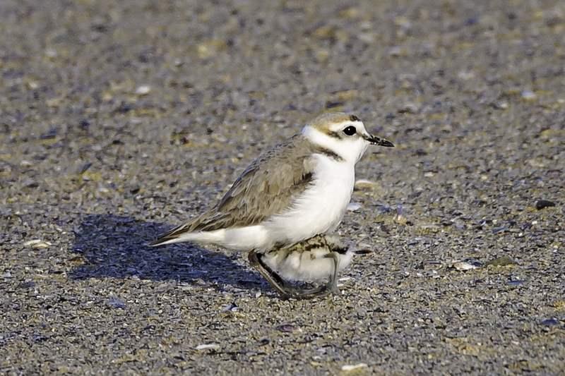Avistadas crías de píllara das dunas en varios areais de Ferrolterra