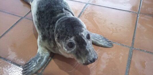 'Rube' e 'Pabbar' dous cacforros de lobo mariño, recupéranse en Nigrán antes de poder regresar a mar aberto