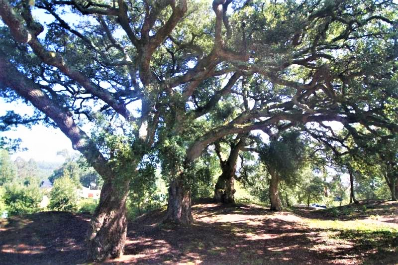 Medio Ambiente incorpora ao catálogo galego de árbores senlleiras unha formación de sobreiras localizada no Rosal