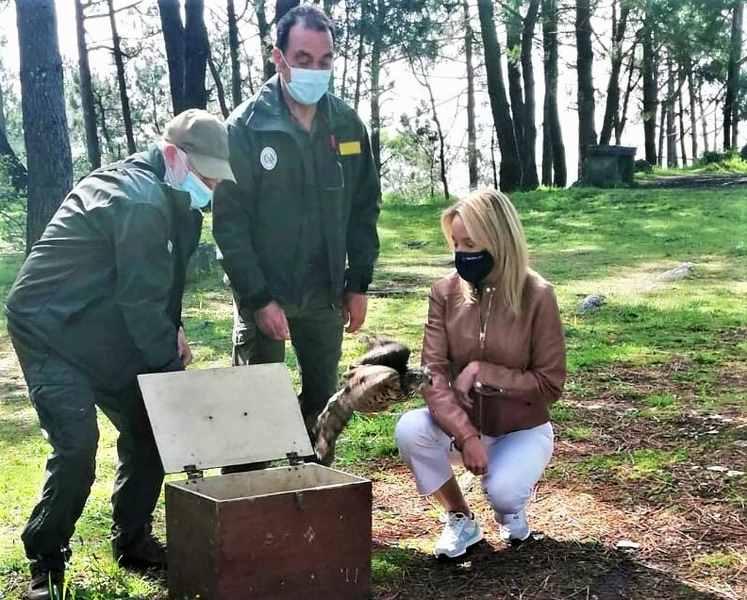 O azor ferido en Nigrán emprende volve voar tras completar a súa rehabilitación no centro de recuperación da fauna de Carballedo